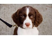 Springer Spaniel puppies boy and girl left
