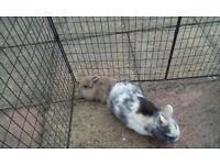 2 lovely male rabbits