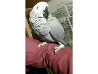 Congo African GREY Super Tame & Talking With cage