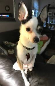 **Sweet Sadie - CHIHUAHUA cross is available for adoption**