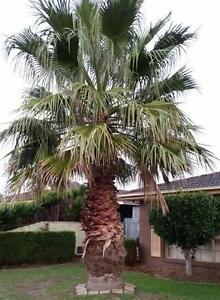 Palm Tree for Sale $8000 Endeavour Hills Casey Area Preview