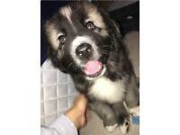 Caucasian Shepherd Puppy For Sale - 9 Weeks Old (£1000 ONO)