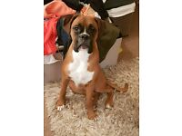Beautiful 11month kc registered boxer dog