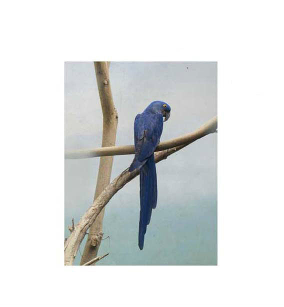"""Rug Hooking Pattern """"HYACINTH MACAW""""  on natural linen"""