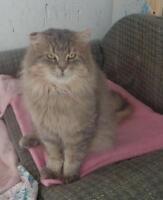 "Adult Male Cat - Domestic Long Hair: ""Aniko"""