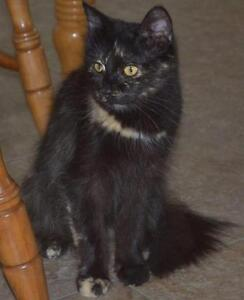 """Adult Female Cat - Domestic Short Hair: """"Maggy"""""""