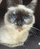 "Adult Female Cat - Siamese: ""Tiffany"""