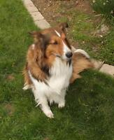 "Adult Female Dog - Collie-Shetland Sheepdog Sheltie: ""Misty"""
