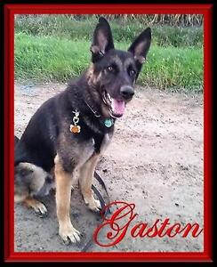 "Adult Male Dog - German Shepherd Dog: ""Gaston"""