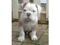 Blue tri Gene English Bulldog Puppies