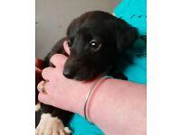 Lab x collie girl 8 week old pup