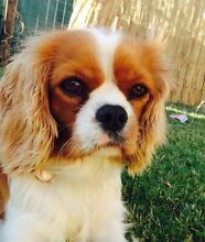 King Charles Cavilier - Female 3 years old - Small Carindale Brisbane South East Preview