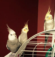 young cockatiel birds for sale