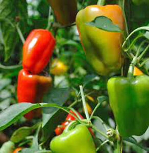 BELL-PEPPER-CALIFORNIA-WONDER-HEIRLOOM-ORGANIC-NON-GMO-25-SEEDS-PEPPERS