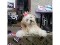 2 year old Female lhasa apso dog