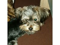 6 month old Morkie for sale