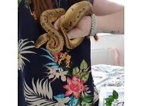 Male lemon blast royal / ball python