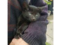 Cuddly boy male black dark brown kitten cat