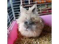 Female lion head rabbit