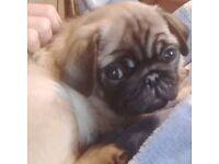 Pug puppy 10 weeks old