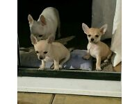 Two fawn full breed Chihuahua Puppy boys