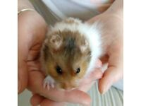9 week old long haired male hamster with cage, etc