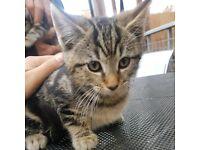 Black boy male tabby tortoiseshell kitten cat