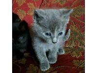 Kittens(ONLY BLACK MALE LEFT)