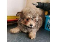 ❤❤ Pomapoo ❤❤❤ pomeranian x toy poodle