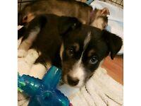 girl collie cross puppy