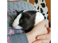 Guinea pigs 4 available