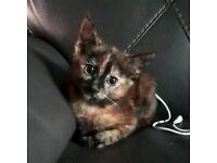 Female kitten 8 weeks