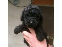 Schnoodle pups for sale