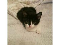 Black and White girl kitten 13 weeks old