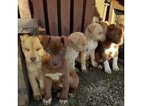 American bulldog/Siberian husky pups