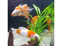 4 Strong Medium Goldfish