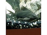 Upside down catfish for ssle