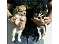 Chihuahua cross Maltese pups