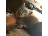 1 blue and 2 peach male kittens