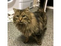 FOUND LONG HAIRED TABBY CAT