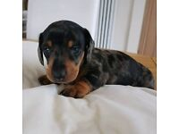 Mini smooth haired of dachshund pup
