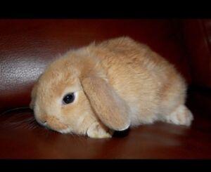 Lop Ear Baby Bunnys