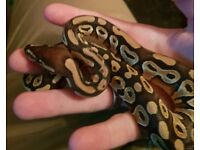 Mojave Royal Ball Python