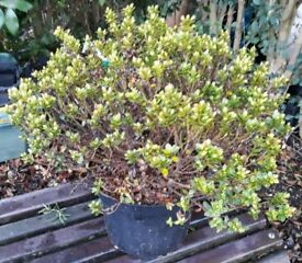 Hebe Sutherlandii bush