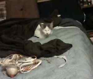 Found tiny white and grey cat Kingston Kingston Area image 3