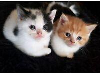 3 Persian X kittens left
