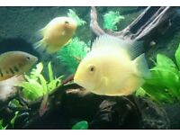 Three gold + two green severums