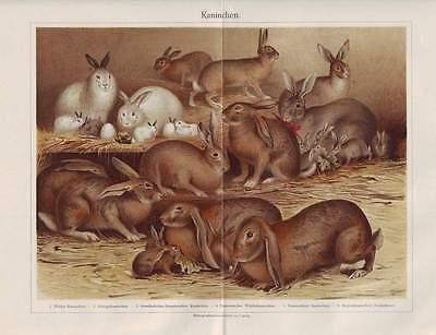 KANINCHEN Wildkaninchen Angorakaninchen LITHOGRAPHIE von 1897 Widderkaninchen