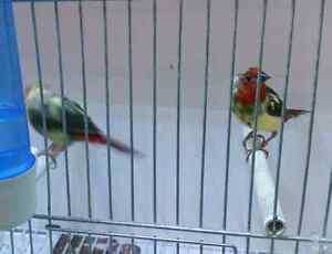 Piteous parrot finches available at central pet