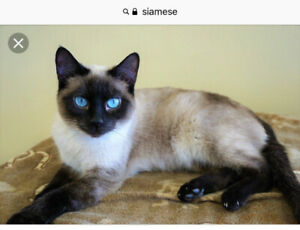 Wanted male kitten 5/6 months old Siamese or Burmese or tonk